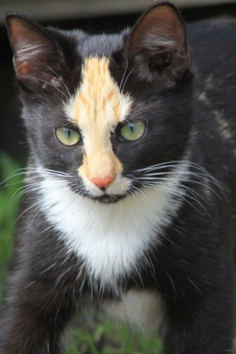 pictures of cats with unique markings, unique cat markings (4)