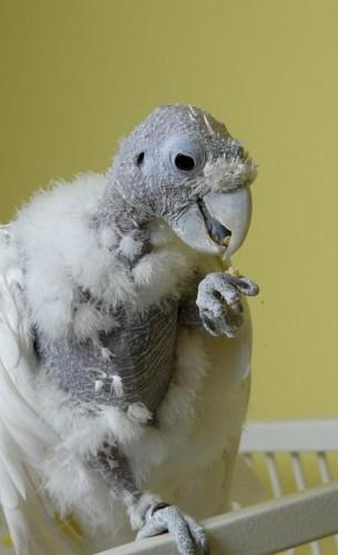 king o, bald cockatoo (3)