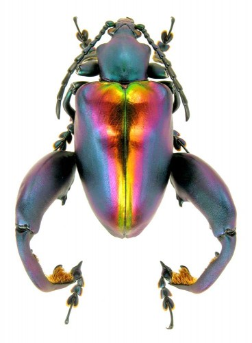 beautiful beetles, pictures of beetles (4)