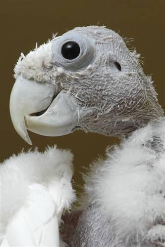 king o, bald cockatoo
