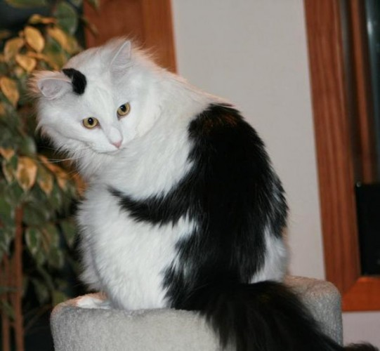 pictures of cats with unique markings, unique cat markings (5) (1)