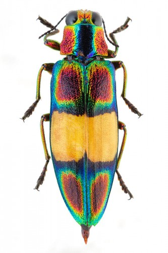 beautiful beetles, pictures of beetles (9)