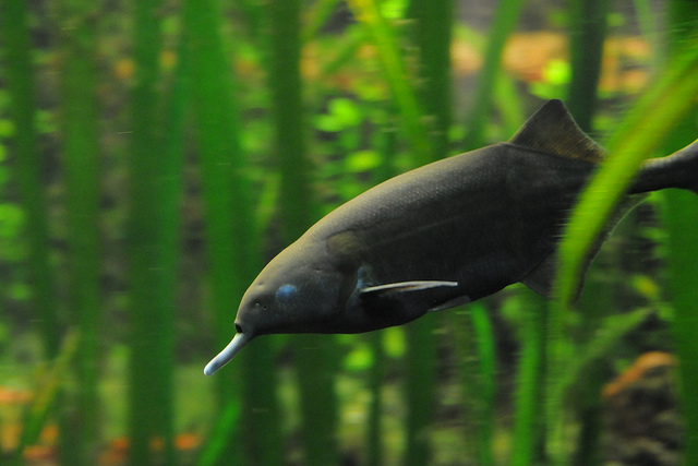 elephant nose fish, peters elephant nose fish, Gnathonemus petersii (3)