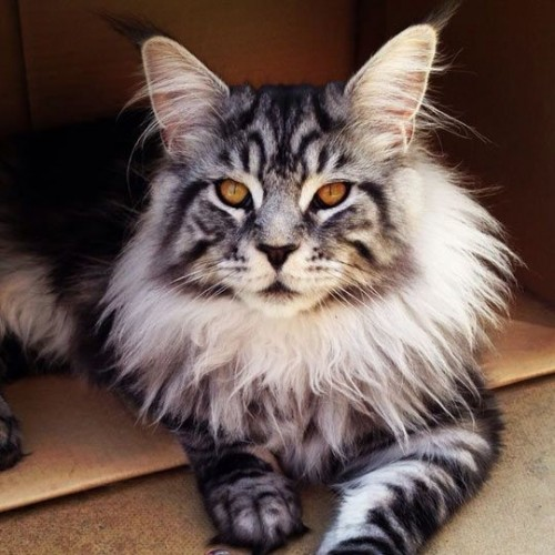 pictures of cats with unique markings, unique cat markings (2)