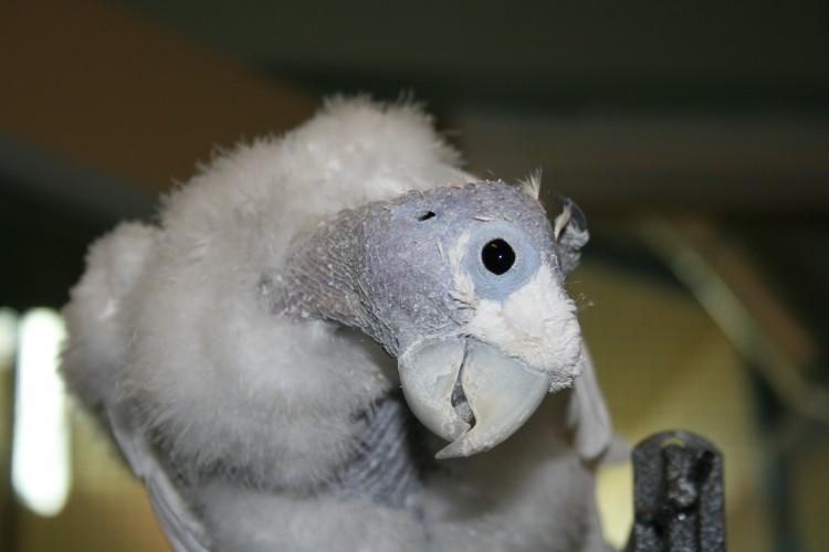 king o, bald cockatoo (2)
