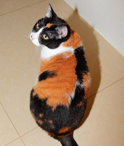pictures of cats with unique markings, unique cat markings (7)