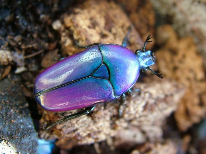 beautiful beetles, pictures of beetles (7)
