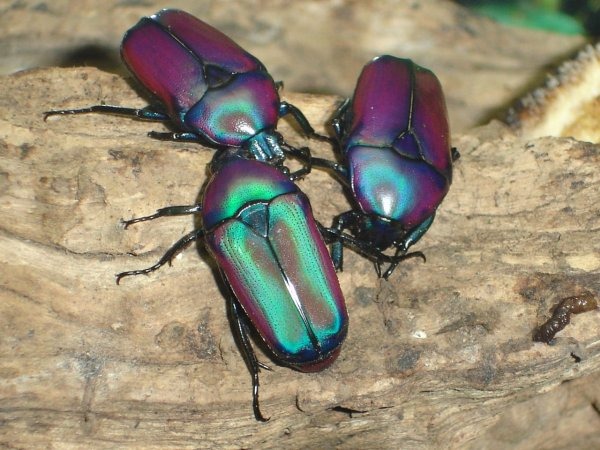beautiful beetles, pictures of beetles (2)