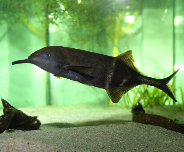 elephant nose fish, peters elephant nose fish, Gnathonemus petersii (2)
