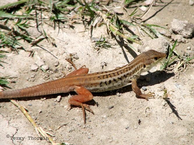 desert lizard, bushveld lizard, Heliobolus lugubris (3)