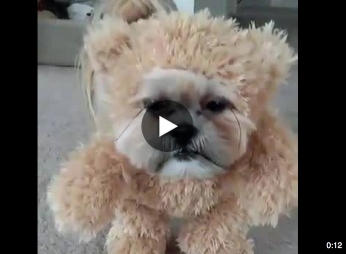 Munchkin the Shih Tzu Teddy Bear Cross-dresser