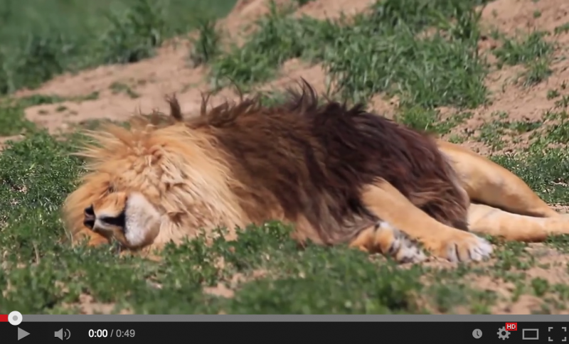 Ever Wondered What a Dreaming Lion Looks/Sounds Like?