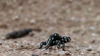 desert lizard, bushveld lizard, Heliobolus lugubris (4)