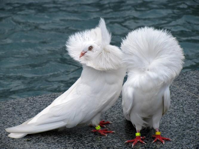fancy pigeon, jacobin pigeon