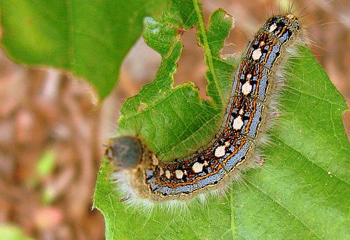 tent caterpillars, penguin caterpillar, Malacosoma disstrium (4)