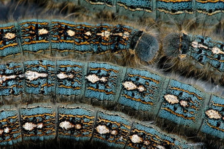 tent caterpillars, penguin caterpillar, Malacosoma disstrium (6)