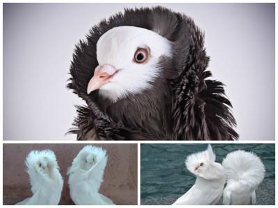 Meet the Fancy Pigeons That Rock Parkas: Jacobin Pigeons