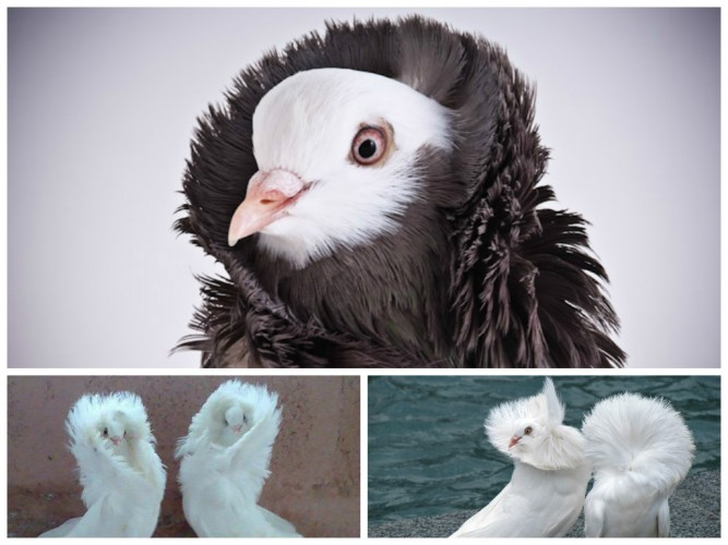 Meet the Fancy Pigeons That Rock Parkas: Jacobin Pigeons