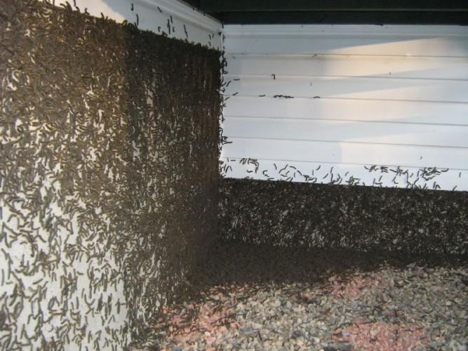 tent caterpillars, penguin caterpillar, Malacosoma disstrium (8)