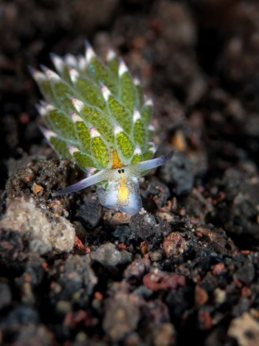 leaf sheep nudibranch, Costasiella kuroshimae (3)