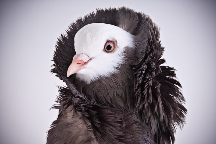 jacobin pigeon - photo #15