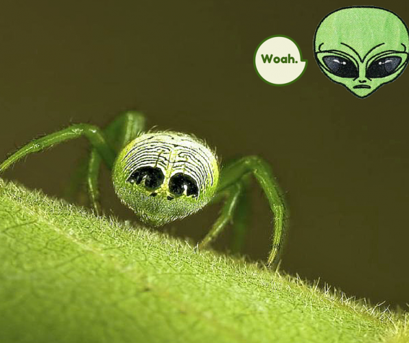 Alien Butt Spider Conquers Earth, Lives in Silk Leaf Huts