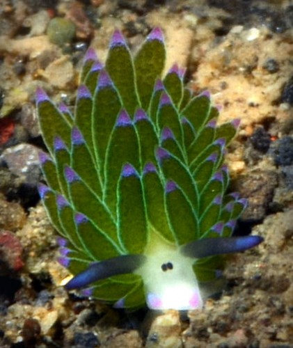 leaf sheep nudibranch, Costasiella kuroshimae (2)