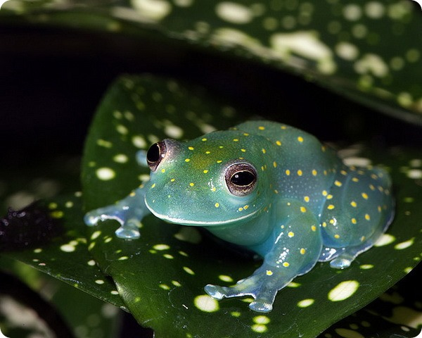 Glass Frog Looks Like a Glowing Constellation in the Rainforest