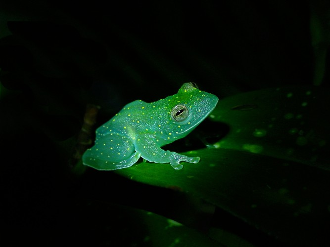 spotted Glass frog, constellation frog, Cochranella euknemos (2)