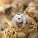 Meet the Cute Spider That Looks Like a Stuffed Animal