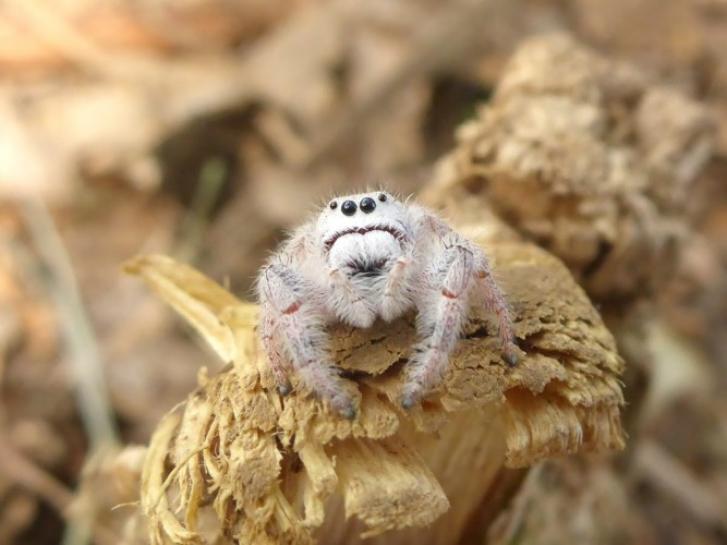 Paraphidippus fartilis, cute jumping spider, cute spider (3)