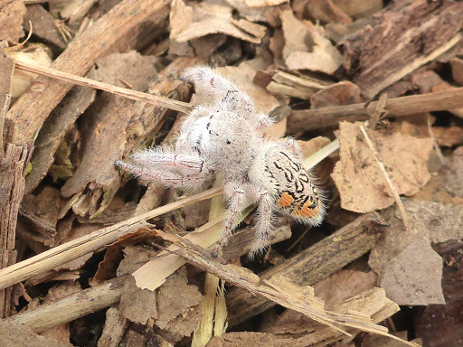 Paraphidippus fartilis, cute jumping spider, cute spider (6)