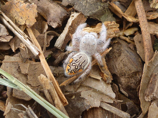 Paraphidippus fartilis, cute jumping spider, cute spider (7)