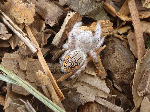 Paraphidippus fartilis, cute jumping spider, cute spider (7)