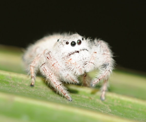 Cute jumping spider - photo#27