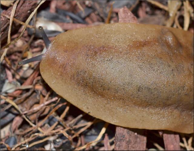 pancake slug, Veronicella sloanei (6)