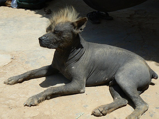 Peruvian Inca Orchid Hairless Dog
