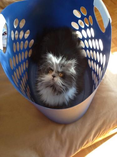 hairy cat (1)