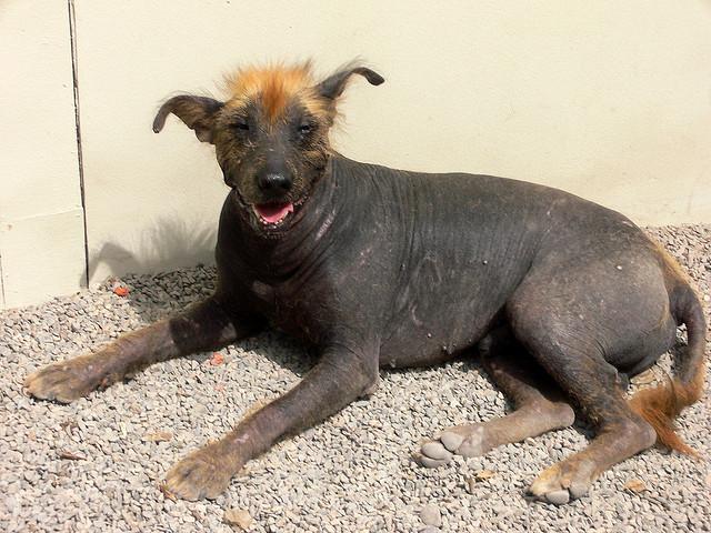 peruvian inca orchid, hairless dog