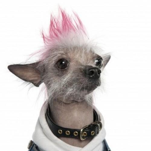 White Hair Dye For Dogs