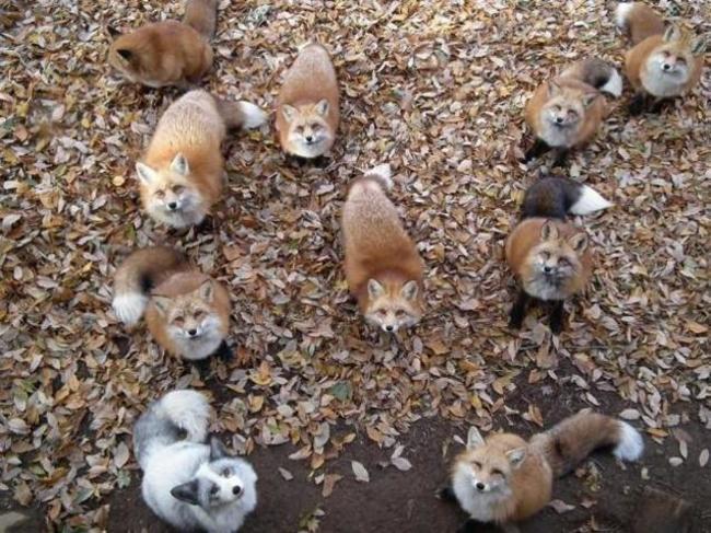 zao fox village japan (3)