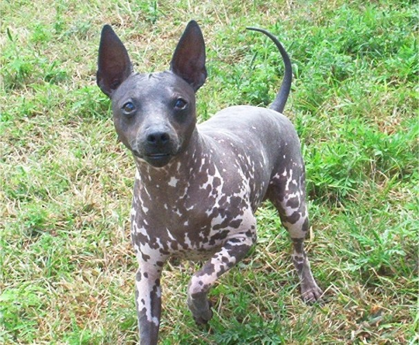 American Hairless Terrier, hairless dog