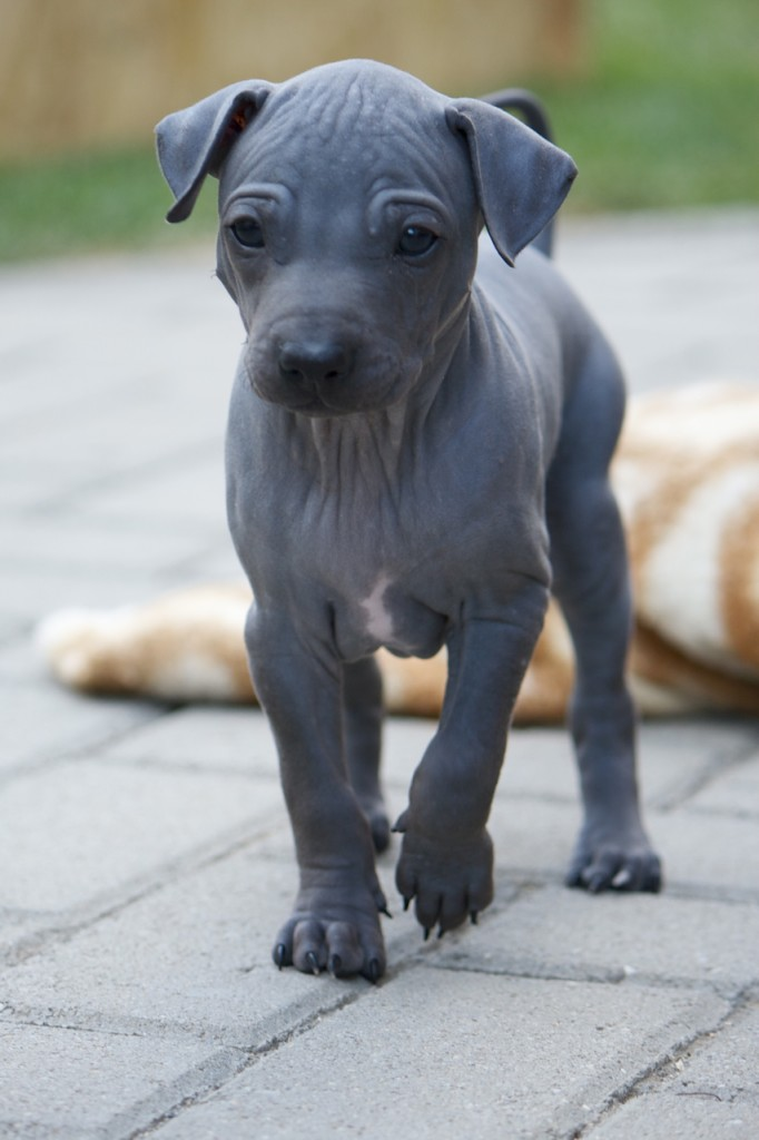 American Hairless Terrier puppy, hairless dog