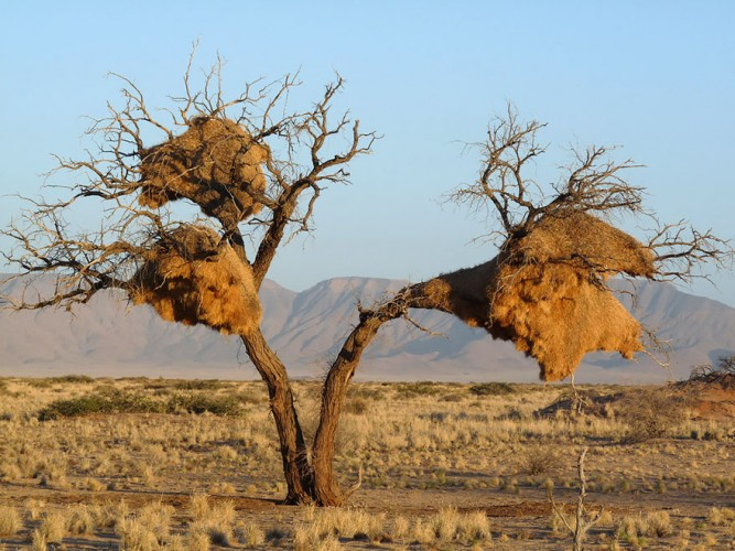 unusual nests, sociable weavers
