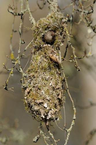 Bushtit nest, unusual nest