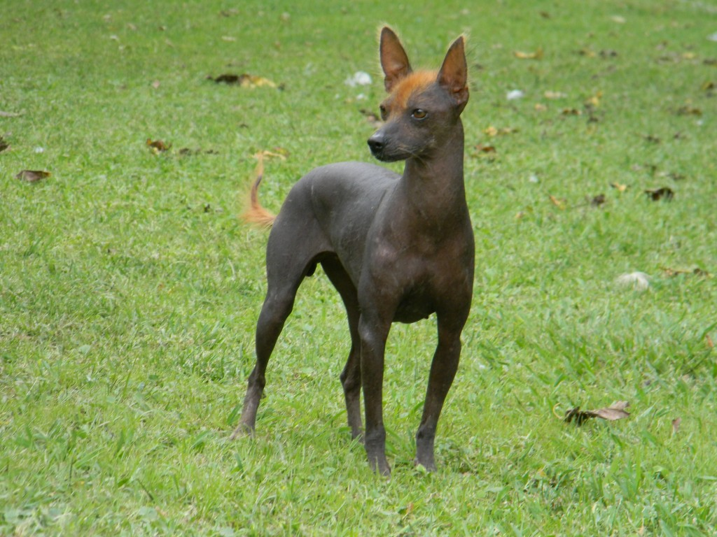 argentine pila dog, hairless dog