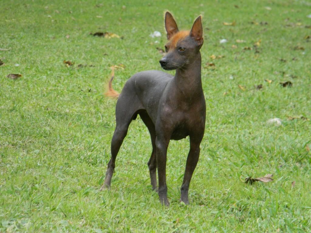 argentine pila dog, hairless dog