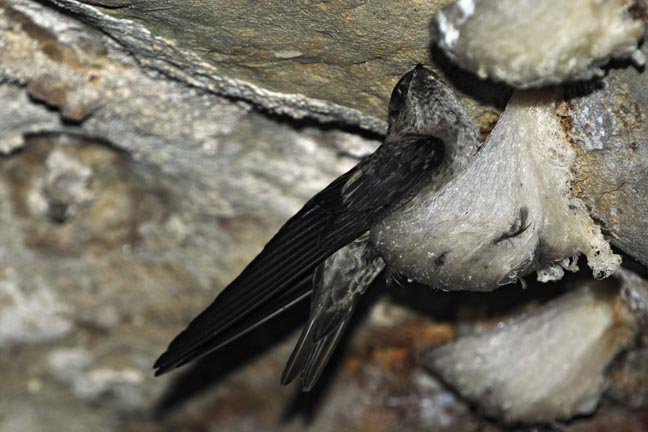 edible-nest-swiftlet, unusual nest