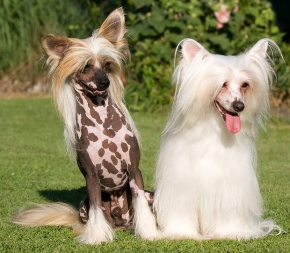 chinese crested, hairless dog