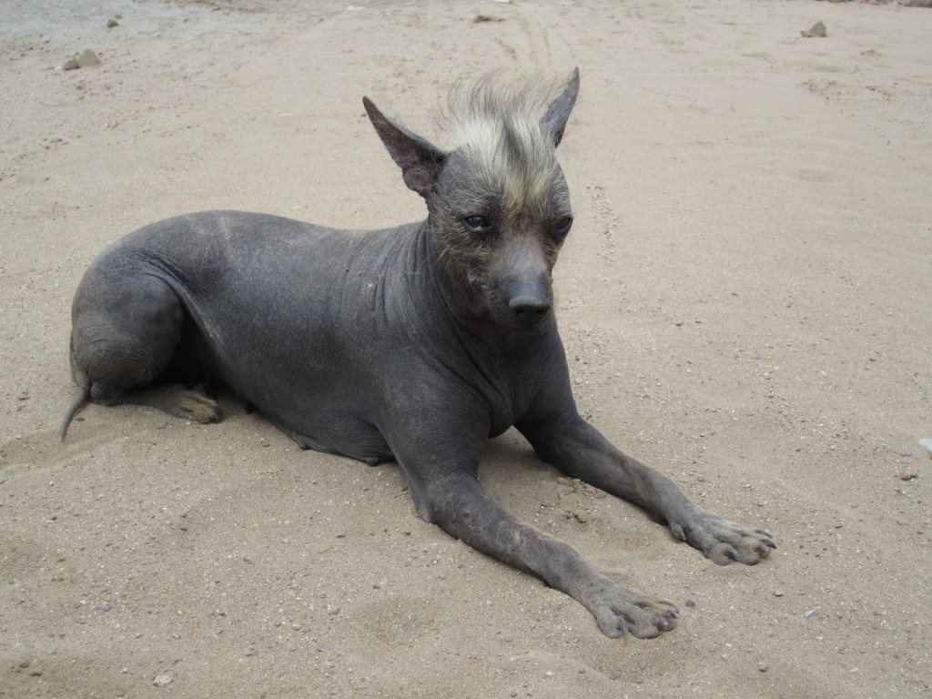 peruvian inca orchid, hairless dog